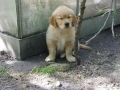 Dual-Golden-Retriever