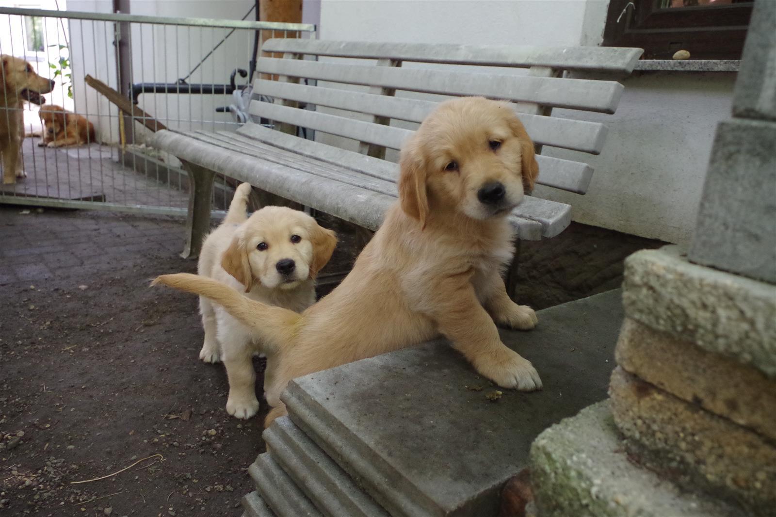 Dual-Golden-Retriever