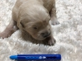 4-Dual-Golden-Retriever-4-1-e1558437189401