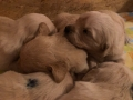 11-Dual-Golden-Retriever-