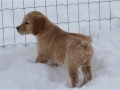 dual-golden-retriever-12