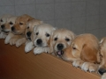 dual-golden-retriever-7