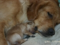 dual-golden-retriever-2